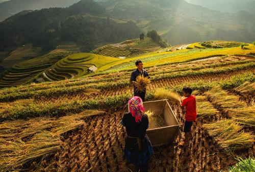 Green Rice fields on terraced in Muchangchai, Vietnam Rice field